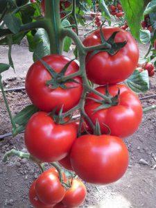 گوجه گلخانه ای کاپیتان